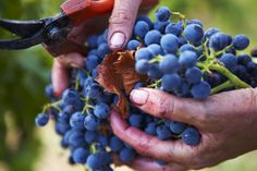 Grape Focus: Tempranillo | THE SECRET INGREDIENT in Rioja and an array of Iberian reds, Tempranillo is widely grown throughout the peninsula ... The Secret, Fruit