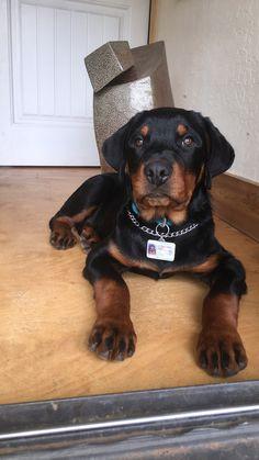 Best Dog Food, Best Dogs, English Cocker Spaniel Puppies, Dog Pee, Best Dog Training, Rottweiler Puppies, Dog Lovers, Rottweilers, Dog Stuff