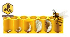 Výsledek obrázku pro včela medonosná vývojová stadia Mushroom Crafts, Dramatic Play, Baby Tips, Life Cycles, Elementary Schools, Montessori, Homeschool, Honey, Learning
