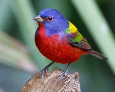 Pictures of Red Birds: Painted Bunting