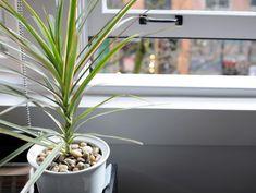 Выращивать в комнатных условиях ложную пальму или драцену – занятие увлекательное, но требующее определенных знаний