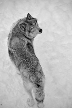 Wolves Too GORGEOUS for words, and N E V E R for killing.