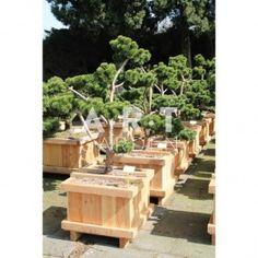 Pinus mugo March taille 120/125 caisse bois 60x60