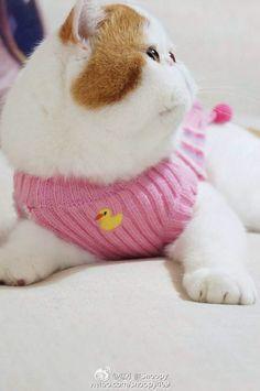 红小胖 Snoopybabe (Snoopy the cat)