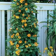 Black-Eyed Susan Vine - I bought a small pot with this vine a few years ago, planted against my fence and allowed it to grow loosely against the fence.  It was abundant with deep orage blooms with their deep purple black 'eyes.'  It was beautiful but I have not seen a potted vine since then.  Now that I know that I can order seeds, I will be sure to plant some seeds again.  It is advertised as a shade perennial but mine was beautiful in a very sunny area.  I am unsure why it didnt reappear the following year, but it was such a rapidly growing plant YET WAS EASILY CONTRILLED, that I wouldnt mind replanting seeds every spring.