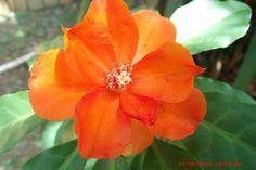Fauna e Flora da Amazônia: Flor da Capa