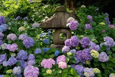 colorful backyard ideas and landscaping with hydrangea flowers