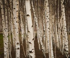 Birch...so pretty and so many different things you can do with it!