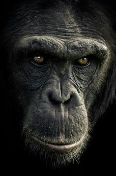Complex character: This chimpanzee gives a long and lingering gaze # Nature animals Primate poseurs: Stunning images show the many human-like expressions of chimpanzees The Animals, Black Animals, Animal Faces, Nature Animals, Funny Animals, Strange Animals, Animals Images, Amazing Animals, Animals Beautiful