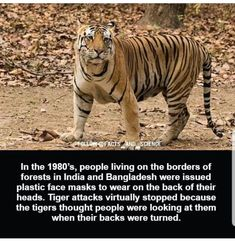 Weird History Facts, Wtf Fun Facts, Funny Facts, Strange Facts, Random Facts, Animals And Pets, Funny Animals, Tiger Attack, Racing Extinction