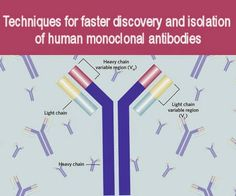 Accelerating Antibody Discovery: Techniques for faster discovery and isolation of human monoclonal antibodies Medical Lab Technician, Medical Laboratory Scientist, Oncology Nursing, Biomedical Science, Writing Services, Biology, Discovery, Clinic, Innovation