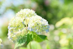 . . おはようございます . バラが満開な一方で 紫陽花が色づき始めてた . そろそろ主役交代になるんですね . #一眼レフ #D5300 #beautiful#Nikon #ニコン #instalike#アジサイ #横浜イングリッシュガーデン  #japanesephoto #写真好きな人と繋がりたい #ファインダー越しの私の世界 #instagood #IGersjp #team_jp #instagramjapan #flowerstagram  #flowerphotography  #flower  #japan_daytime_view #nikonphotography#flowerslovers#floweroftheday#japan_of_insta#wp_flower#team_jp_flower#wp_japan#はなまっぷ #ザ花部#紫陽花#kanagawaphotoclub http://gelinshop.com/ipost/1519889511152077787/?code=BUXu3UqD8vb