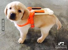 Guide dog puppy in training wearing his specially made puppy harness to prepare him for his big boy harness