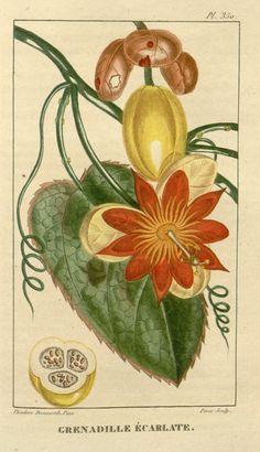 Passion Fruit. Flore médicale des Antilles, ou, Traité des plantes usuelles ct.5  Paris :Pichard,1821-1829.  Biodiversitylibrary. Biodivlibrary. BHL. Biodiversity Heritage Library