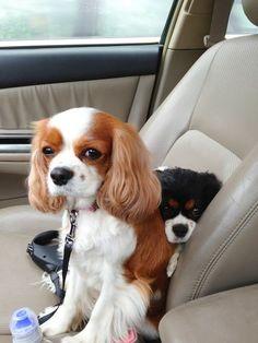 I called shotgun King Charles Puppy, Cavalier King Charles Dog, King Charles Spaniel, Super Cute Puppies, Super Cute Animals, Cute Dogs, Puppies And Kitties, Doggies, I Love Dogs