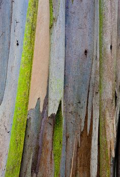 gorgeous Eucalyptus...found in kauai with the brightest greens that exist with gorgeous oranges to boot...God is so creative!