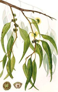 Eucalyptus citronné - eucalyptus citriodora Australian Native Flowers, Australian Art, Australian Plants, Botanical Flowers, Botanical Prints, Botanical Drawings, Rosemary Garden, Eucalyptus Leaves, Tree Illustration