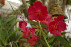 Red Vanda in bloom.