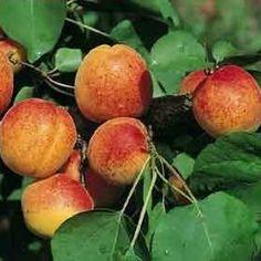 Abricotier Saumur arbre en taille scion 80/130cm racines nues. Abricotier Saumur est un arbre aux fruits moyens sucrés et juteux