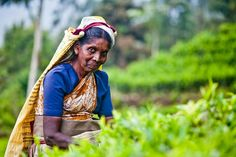 Kobieta na plantacji herbaty. Sri Lanka