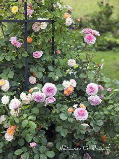 So finden Sie eine schöne Kletterrose für ihren Garten.