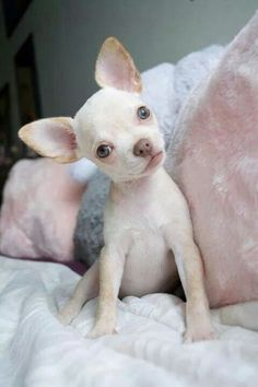 Chihuahua is a very amazing dog. So now that you are interested in adopting or buying Chihuahua, check first the list of Chihuahua colors and markings Cute Puppies, Cute Dogs, Baby Chihuahua, Little Dogs, Cute Baby Animals, I Love Dogs, Animal Pictures, Dog Pictures, Dachshund