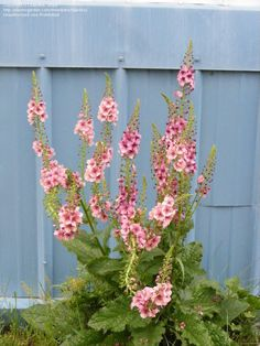 Photo of Ornamental Mullein, Verbascum 'Southern Charm'