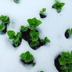 Pushing Spring. #green #nature #plants #snow