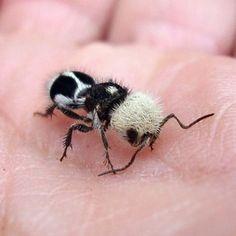Panda Ant (Euspinolia militaris)
