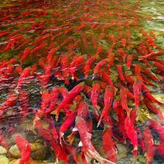 sockeye-salmon. http://www.scientificamerican.com/article.cfm?id=what-is-killing-off-fraser-river-sockeye-salmon