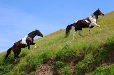 Wild Horses by zootnik.deviantart.com. When my sister was in town, we went for a drive in search of early spring wildflowers...while we did find some wildflowers, we came across 2 wild horses in a canyon...they had to climb uphill to get away from us.  Breckenridge Road...Kern County, CA