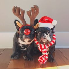 French Bulldog Breeder serving Florida, South Florida and surrounding areas offering standard color and exotic colored frenchie puppies for sale. Cute Puppies, Cute Dogs, Dogs And Puppies, Doggies, Baby Dogs, Funny Dogs, Animals And Pets, Baby Animals, Cute Animals