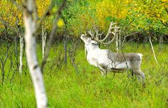 Reindeer in summer, by Lapland Safaris