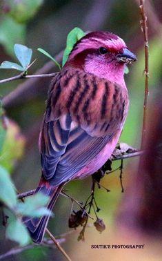 Pink-browed Rosefinch,Male - Photography by Soutik Halder Kinds Of Birds, All Birds, Cute Birds, Pretty Birds, Little Birds, Beautiful Birds, Animals Beautiful, Cute Animals, Beautiful Gif