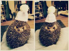 My little pet hedgehog Yoda :) He's an Egyptian Long Eared Hedgie.. and hes adorable!  #hedgehog #hedgie #pet #adorable #cute #love #hat #clothes #fluffy #spikes #sweet #yoda #starwars #stormtrooper #amazing #hog