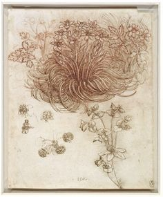 Star of Bethlehem, wood anemone and sun spurge, by Leonardo da Vinci
