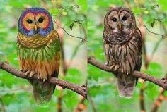 Fake - Rainbow Owl - This a hoax.The real Barred Owl is on right. #fake #owl #BarredOwl