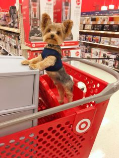 Duke of Yorkie , Puppy Yorkshire Terrier , Furbaby , Toy Breed , Target's furry customer