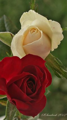 Pair of Roses II by Silvia Sandrock on 500px