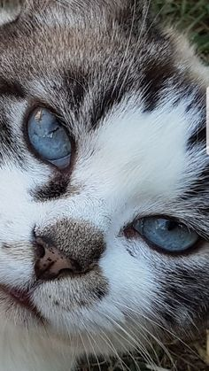 Prettypretty eyes glimmering in purity Animals And Pets, Baby Animals, Cute Animals, Crazy Cat Lady, Crazy Cats, I Love Cats, Cool Cats, Beautiful Cats, Animals Beautiful