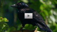 O que faz este corvo é simplesmente notável! UAU!