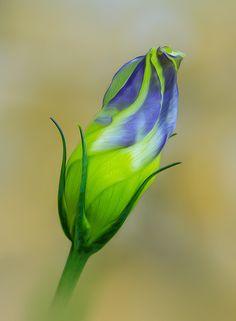 ~~heavenly blue flower bud by Enzo Davide~~