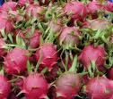 """Thai Dragon"" dragon fruit plant Pitaya hylocereus $9.99"