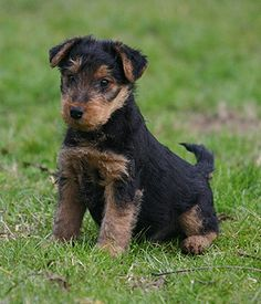 Welsh Terrier breed info,Pictures,Characteristics,Hypoallergenic:Yes