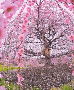 200 years old Ume plum tree at Suzuka Forest Garden Japan Fast Crazy Nature Deals. Flor Magnolia, Cherry Blossom Season, Cherry Blossoms, Plum Tree, Unique Trees, Forest Garden, Spring Is Here, Parcs, Flowering Trees