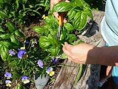 A great demo of how to trim basil to keep it bushy and looking great!
