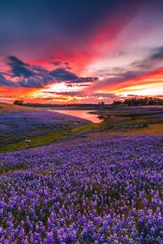 Lupine sunset, near Folsom Lake, California Beautiful World, Beautiful Places, Beautiful Sites, Beautiful Scenery, Beautiful Flowers, Beautiful Sunrise, Amazing Nature, Nature Photos, Beautiful Landscapes
