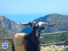 Mediterrane-dieet - Zorbas Island apartments in Kokkini Hani, Crete Greece 2020 Crete Greece, Berg, Animal Kingdom, Goats, Island, Animals, Hiking, Block Island, Animales