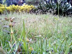 Do not become arrogant self. be like grass. although it has been treading, he remained steadfast in living his life as he dried yellow grass before