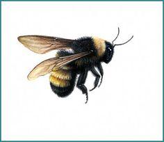 The American Bumble bee by pencilandleaf, via Flickr